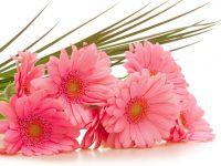 Gerbera flowers images download