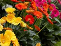 Gerbera wallpaper