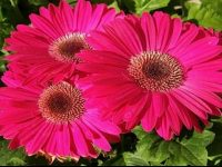 Light Pink Gerbera Wallpaper