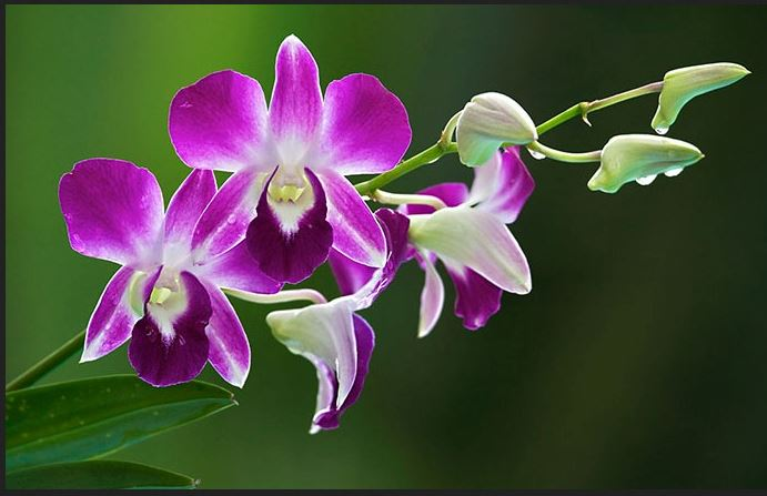 Orchid Wallpapers HD