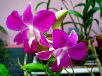 Small Purple Orchid Flower wallpaper