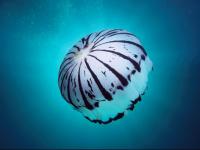colorful jellyfish wallpaper