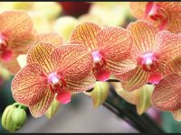 high resolution orchid photo