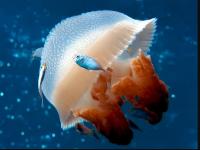 Jellyfish Wallpaper Desktop Background