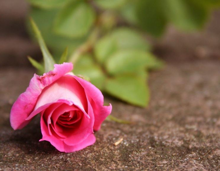 pink roses wallpaper border