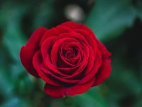 pink roses wallpaper pinterest