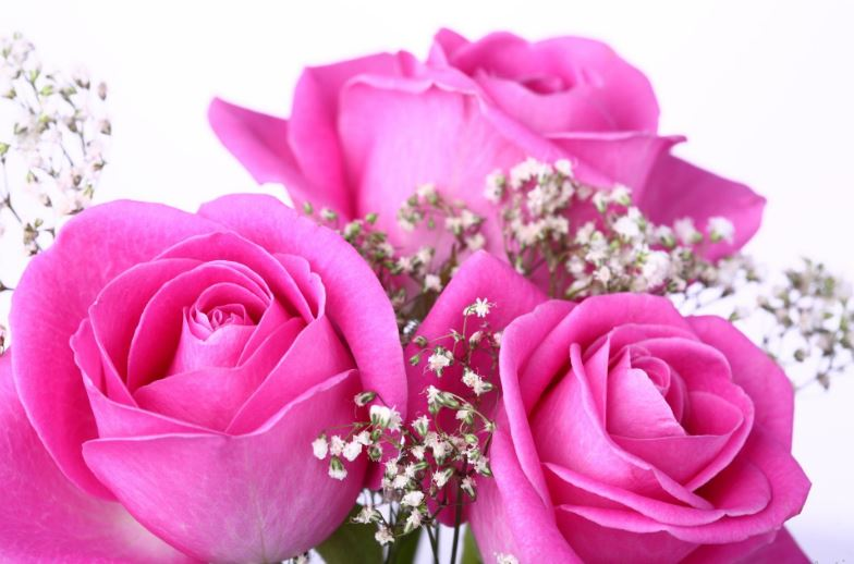 pink roses wallpapers for desktop