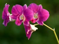 purple orchid wallpaper
