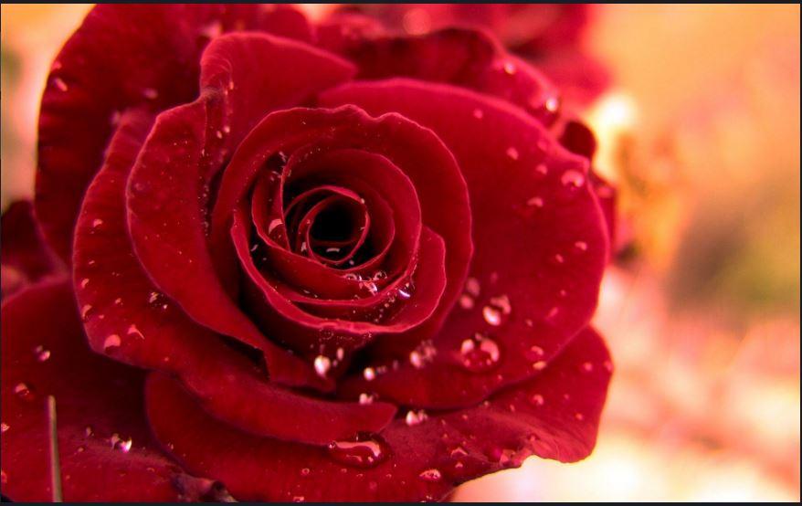 Red Rose Wallpaper Hd Download Wallpaper Desktop Hd