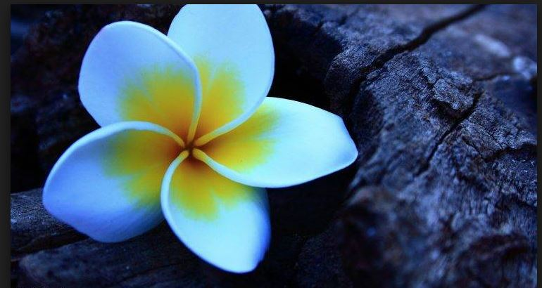amazing plumeria background for desktop