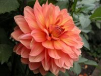 beautiful dahlia firepot wallpaper