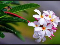 beautiful plumeria wallpaper