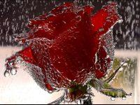 beautiful rose flower wallpaper