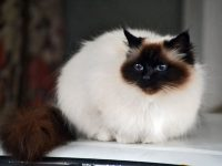 birman cat desktop image