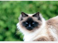 birman cat hd wallpaper