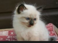 birman cat images for free