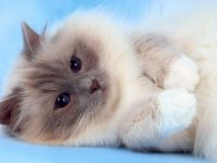 birman cat wallpaper for android