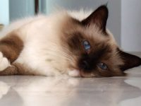 birman cat wallpaper for desktop