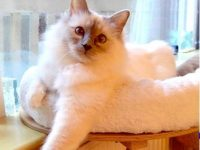free birman cat desktop background