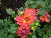 free hd dahlia firepot wallpaper