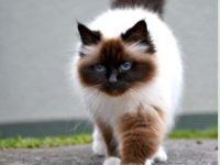 hd free birman cat background