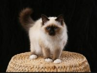 hd free birman cat wallpaper