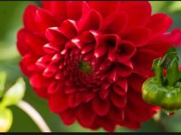 hd free dahlia firepot wallpaper