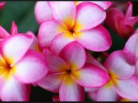 hd plumeria wallpaper for free