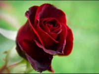 love rose wallpaper free download