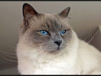 Birman Cat Wallpaper HD Free Download