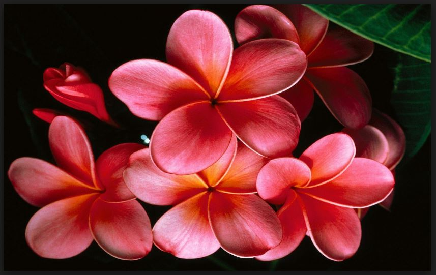 plumeria background for android