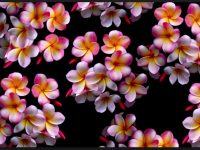 plumeria flower close up wallpaper