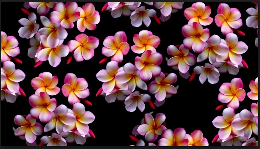 plumeria flower close up wallpaper