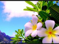 plumeria flower screen saver