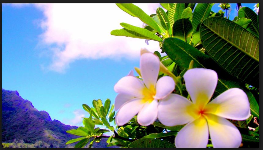 plumeria flower screen saver