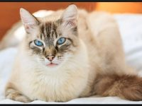 stylish birman cat hd wallpaper