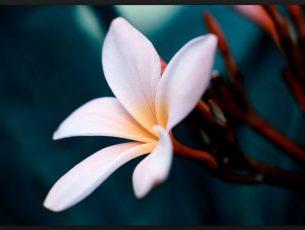 Plumeria Flower Close Up Hd Wallpaper