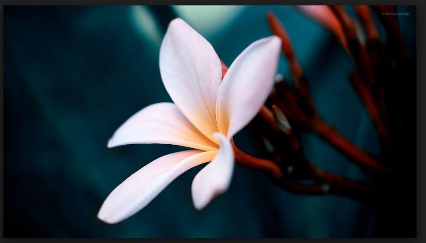 white plumeria flower image
