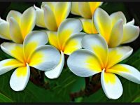 white plumeria flower wallpaper