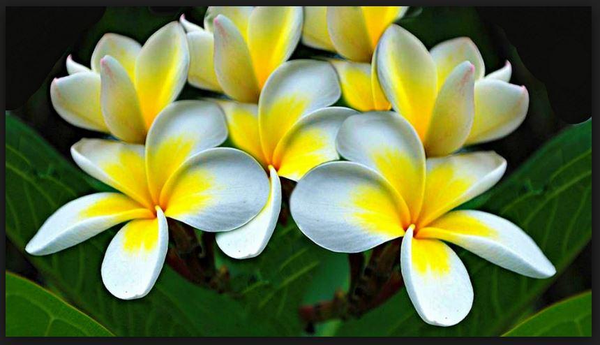 white plumeria flower wallpaper