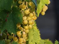 Grapes vines mature green