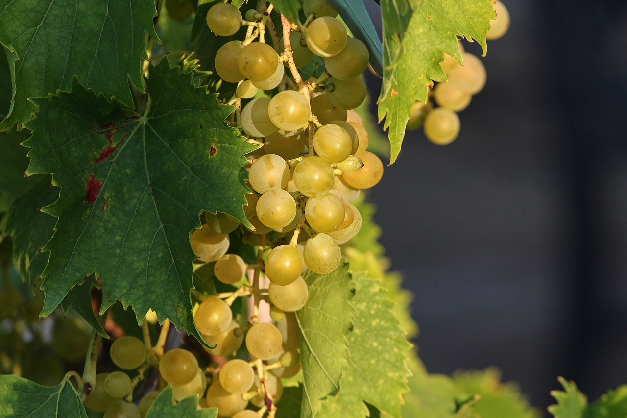 Grapes vines mature green