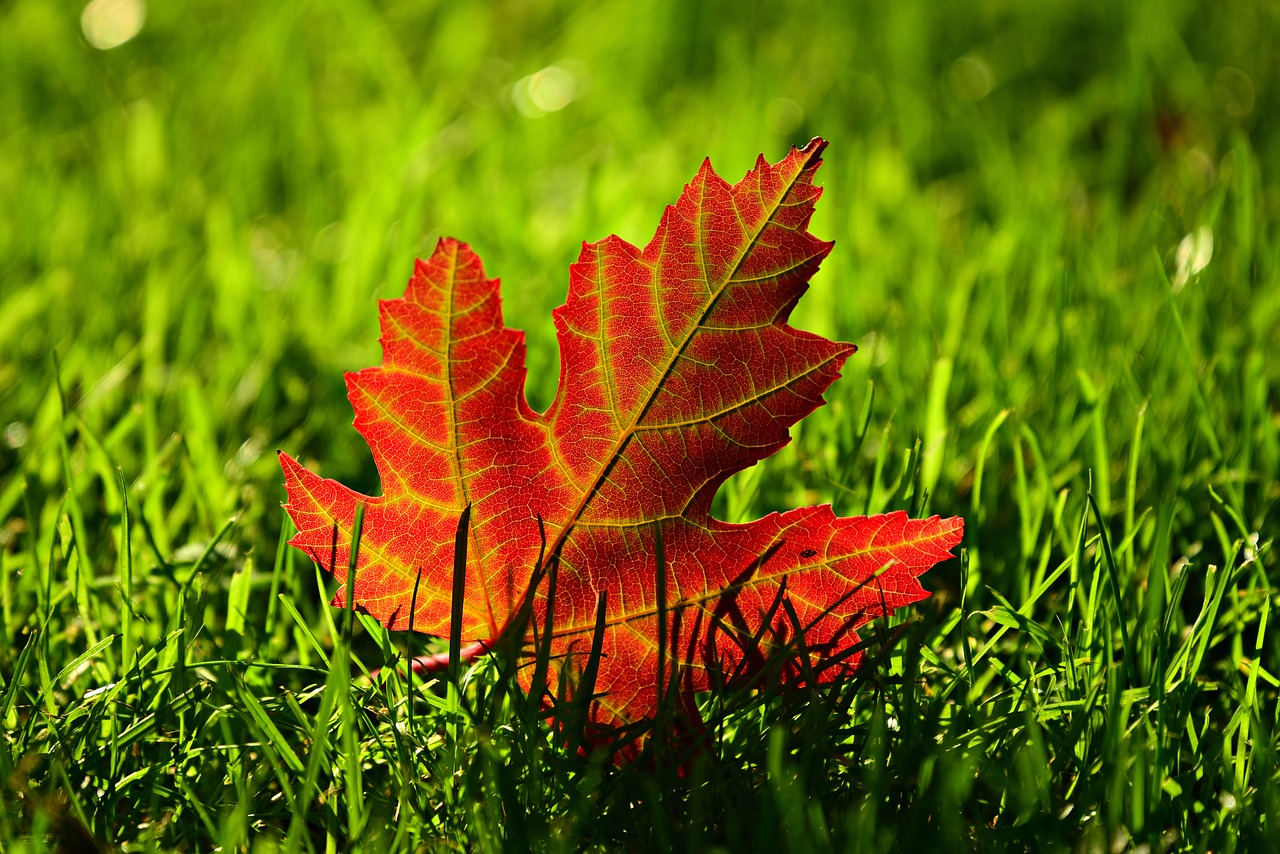 Maple leaf fall leave in autumn