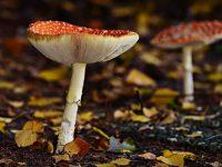 Mushroom fly amanita fungus