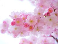 cherry trees flowers spring