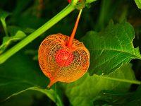 chinese lantern plant husk
