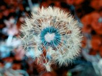 dandelion beautiful view