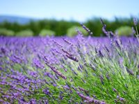 lavender close up view