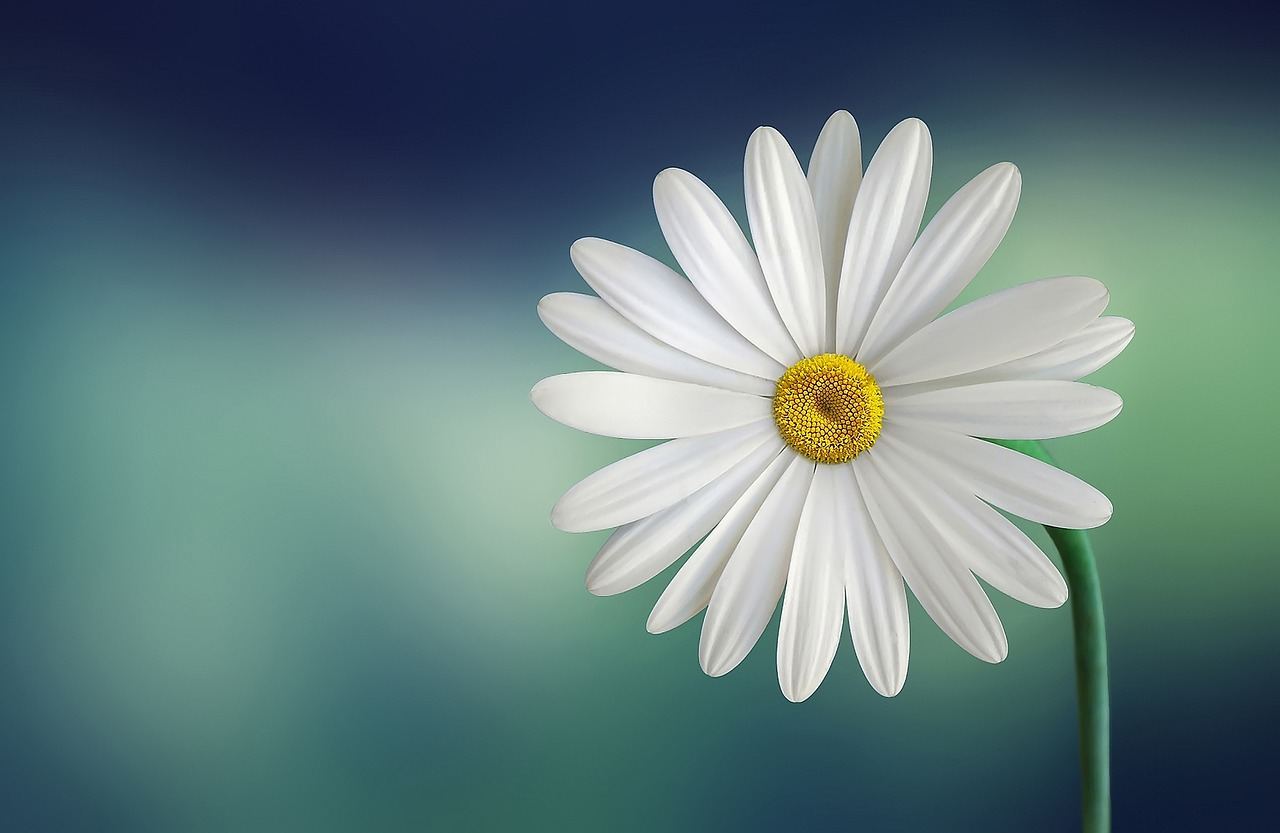 marguerite daisy flower white