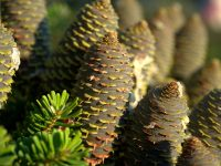 pine cones fir tree